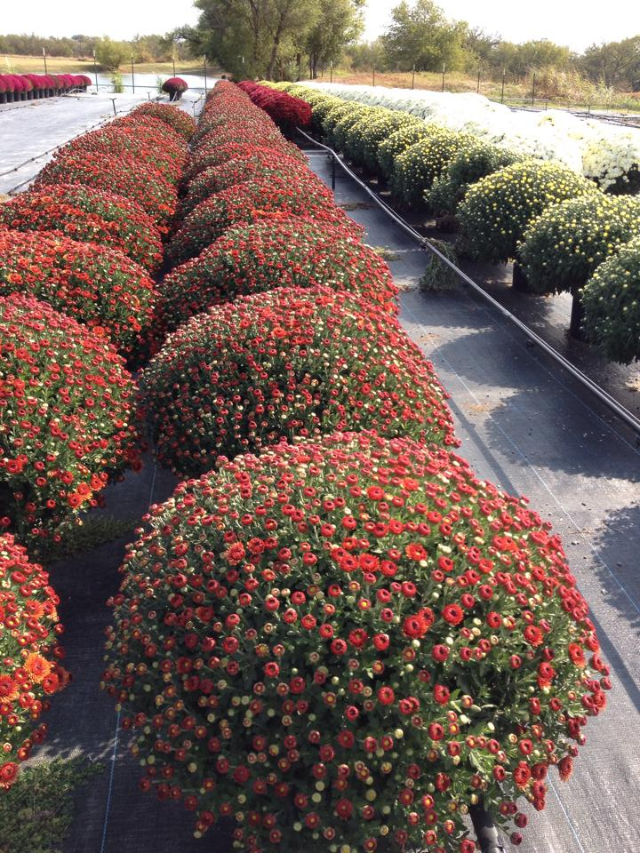 Mums bring curb appeal in the Fall!