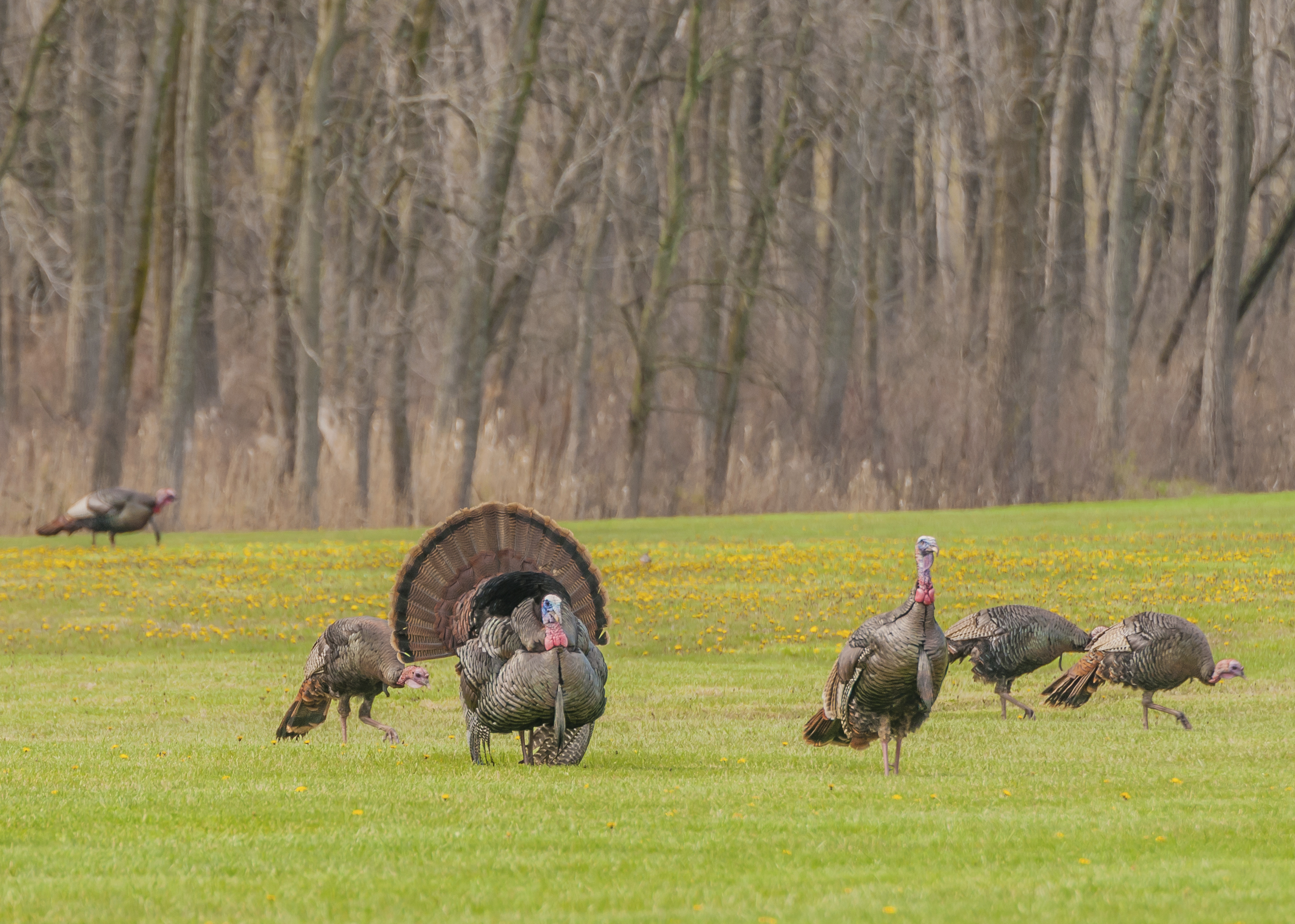 Wild Turkey!  Lazy S Ranch