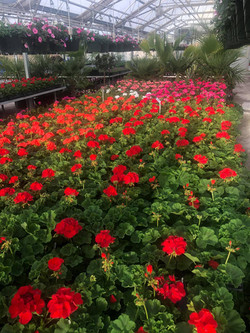 GERANIUMS are here!!