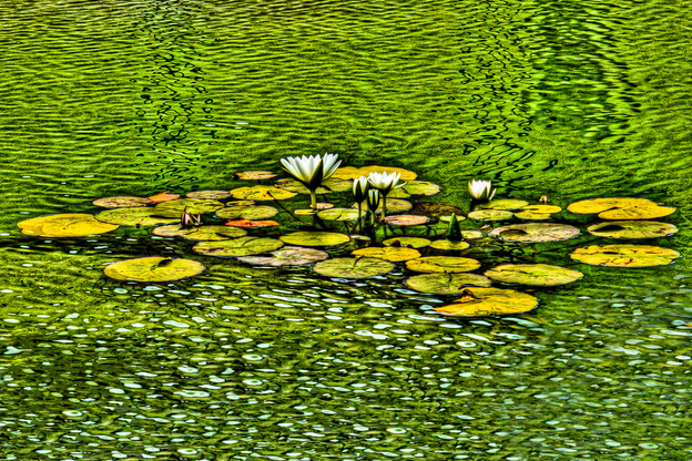 Water Lilies in Ripples