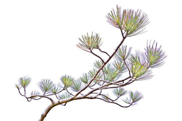 Torrey Pine Sapling