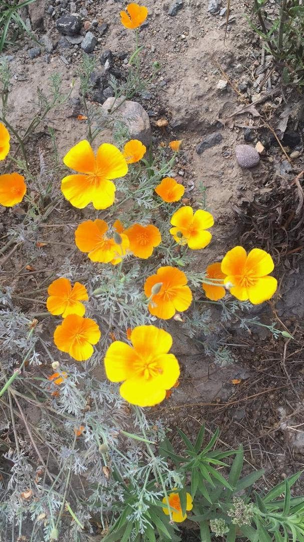 california-poppy.jpg