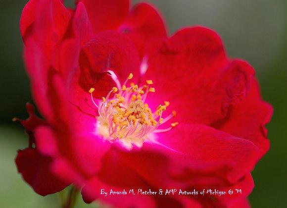 Michigan Flowers: 2017 Art Photography Image (SINGLE) By Amanda M. Pletc