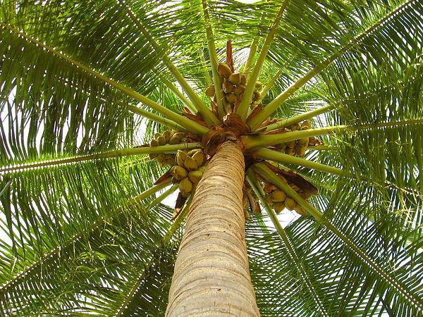 coconut_tree.jpg