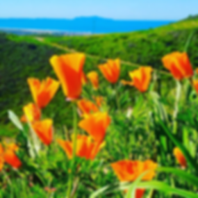 VALTA MANAGEMENT-Orange Poppys