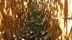 Established Cover Crops Prior to Harvest