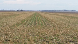 Land & Livestock Blend, 62 days growth, Seeded with Hagie prior to Corn Harvest
