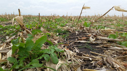 Using ProHarvest ReClaim Radish can help sequester leftover Nitrogen and prevent erosion