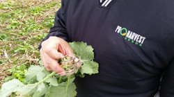 Rapeseed Plant _ 56 days growth, Iroquois Co_