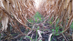 Land & Livestock Blend by ProHarvest Seeds, Inter-seeded with Hagie by FullThrottle Ag Service, 14 d