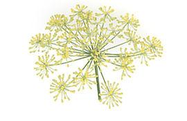juilo-web-productdetail-fennel.jpg