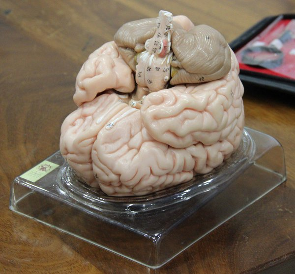 Somso model brain