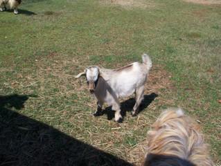 selling goats