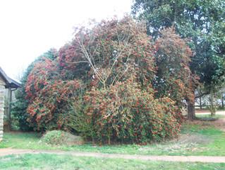 holly bush-tree