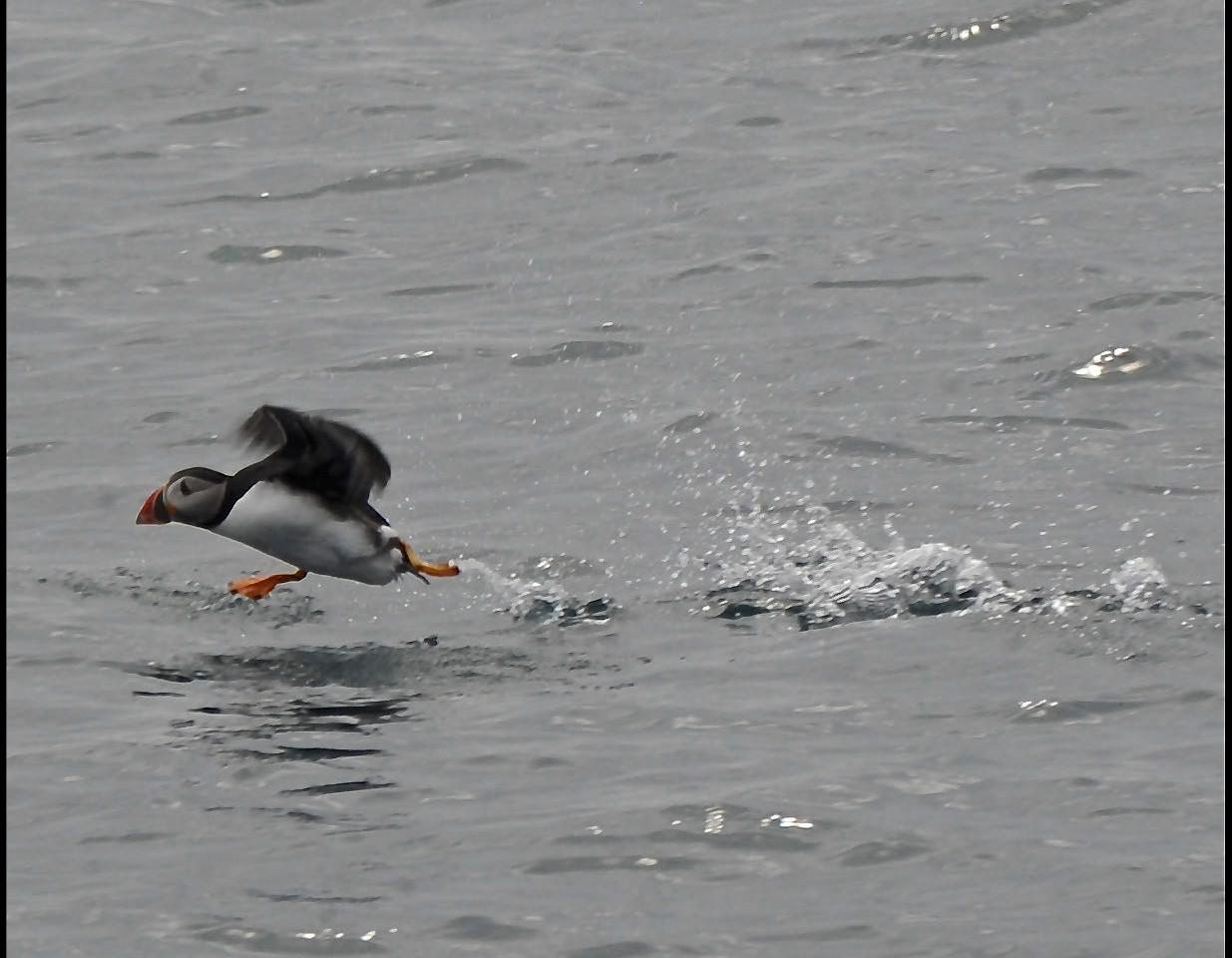 Puffin on Scottish Moray Firth Coast Dolphin Boat Trip