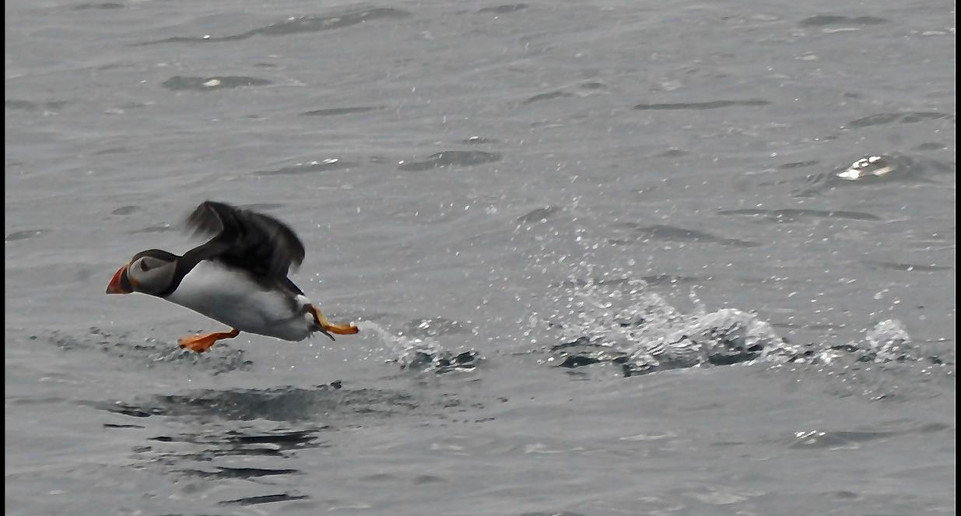 Puffin on Scottish Moray Firth Coast Dolphin Boat Trip