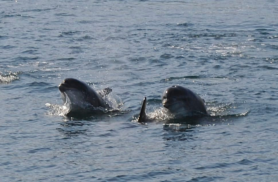 Moray Firth Dolphins in Scotland