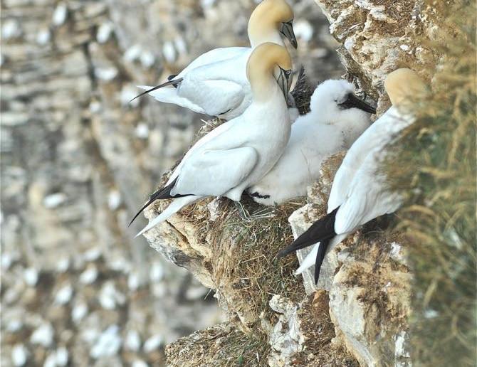 Gannets on Troup Head.jpg