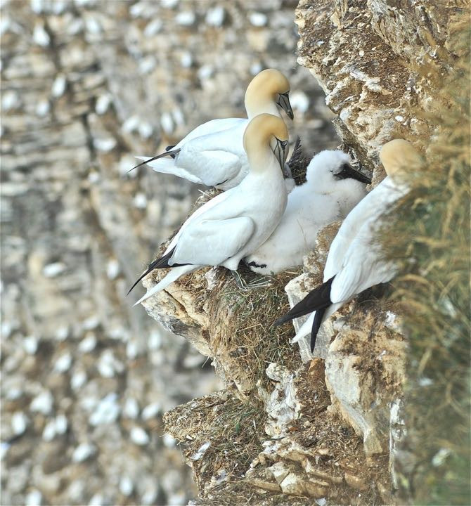 Gannets on Troup Head.jpg