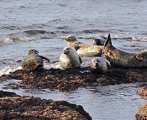 Seals off Buckie.jpg