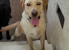 Cooper   American Yellow Labrador   Pasadena, CA