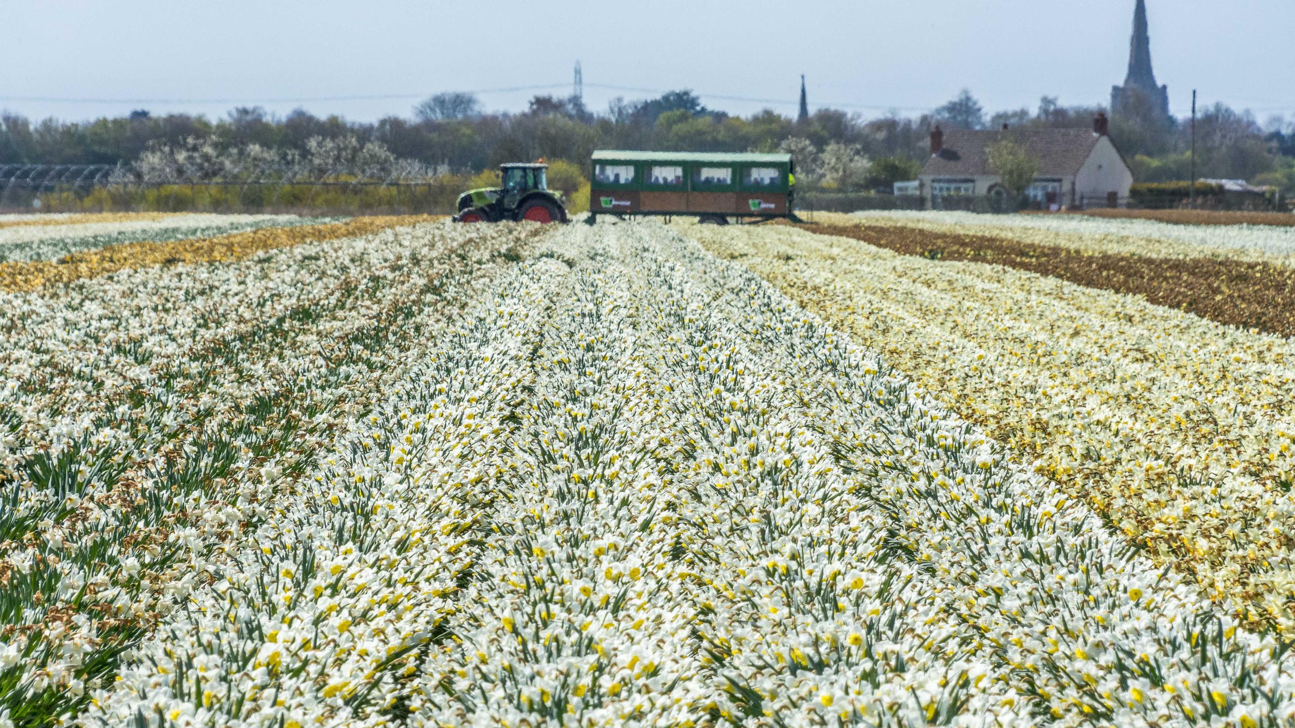 Daffodils (1 of 8)
