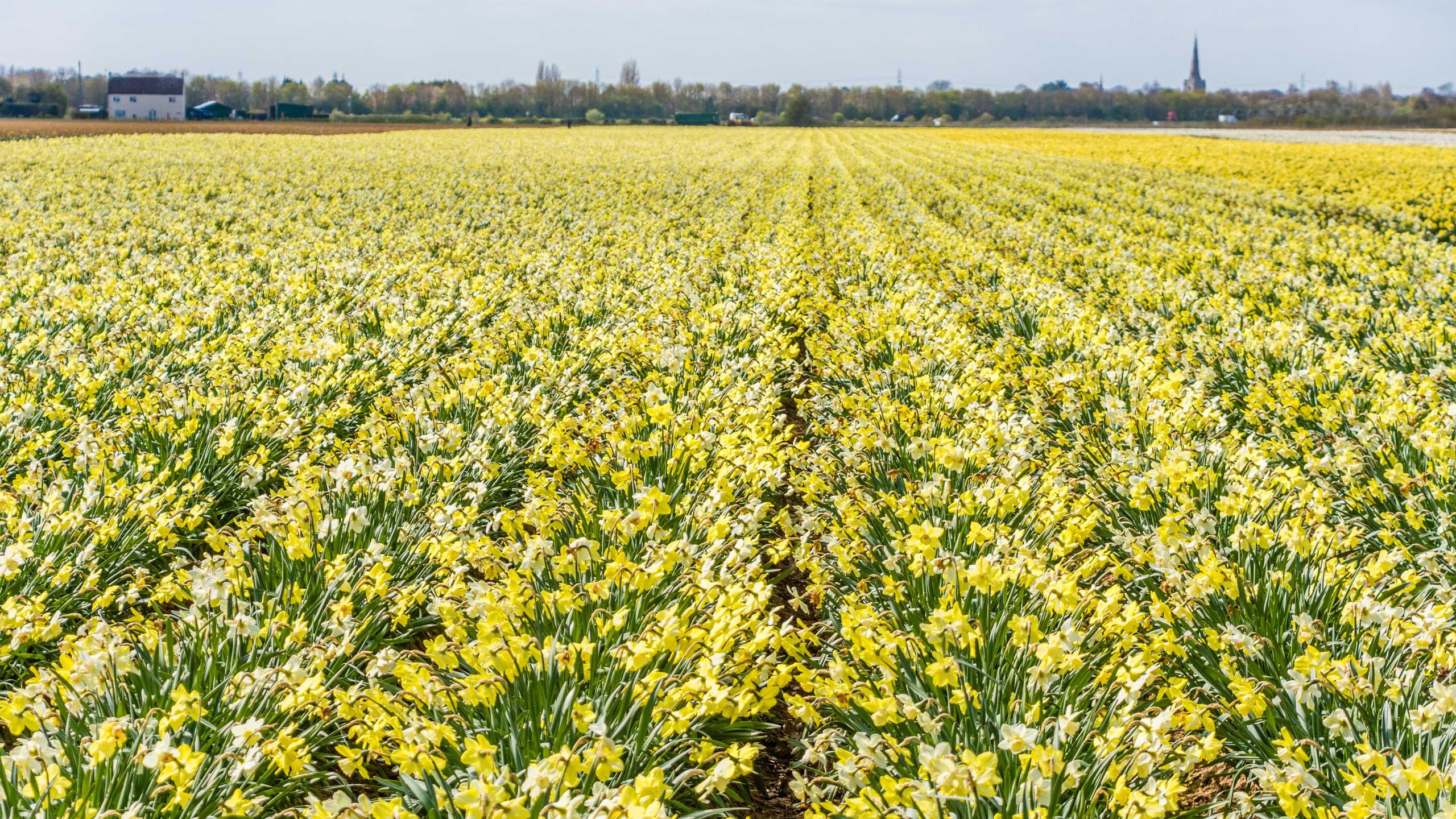 Daffodils (2 of 8)