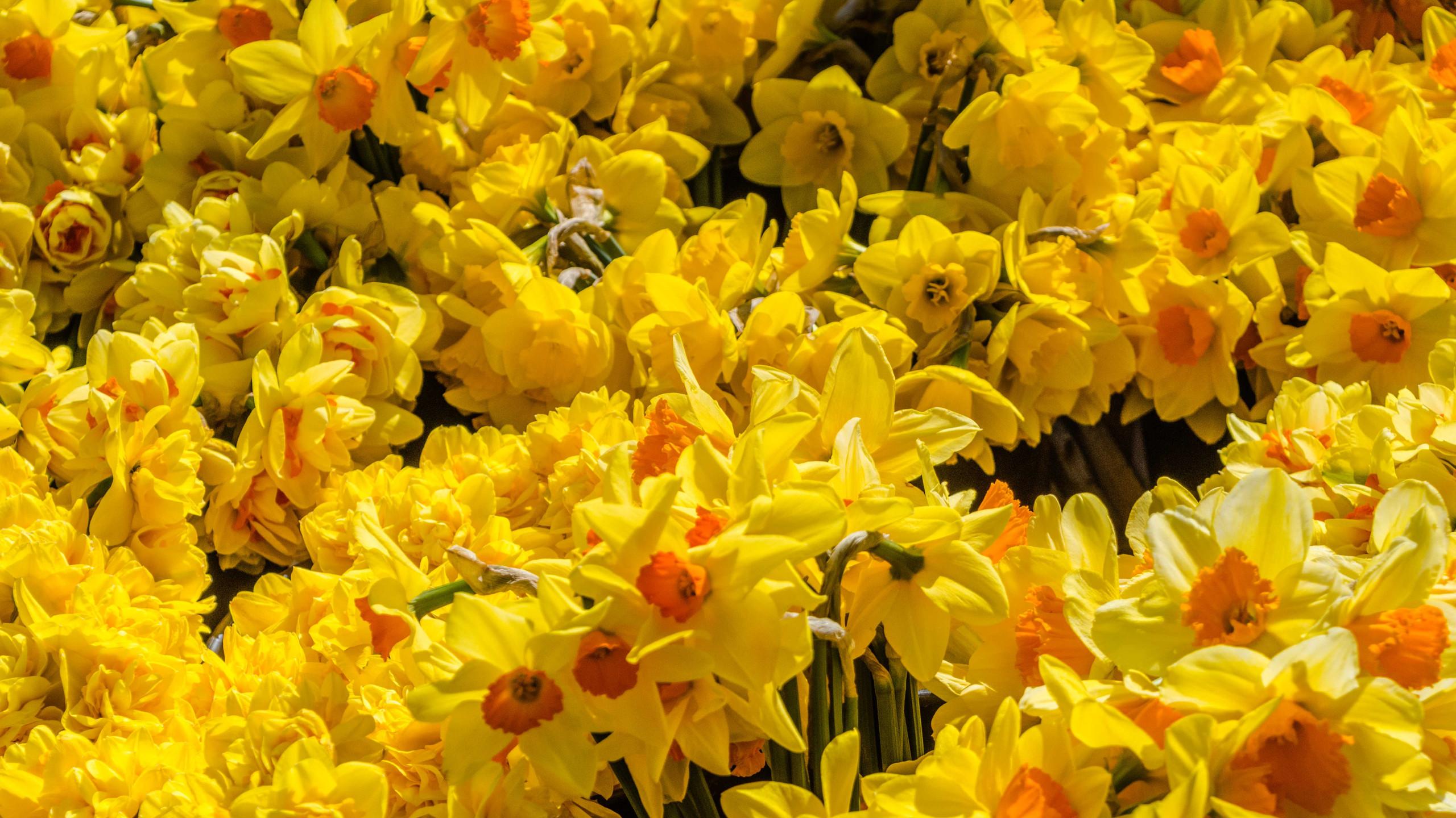 Daffodils (5 of 8)