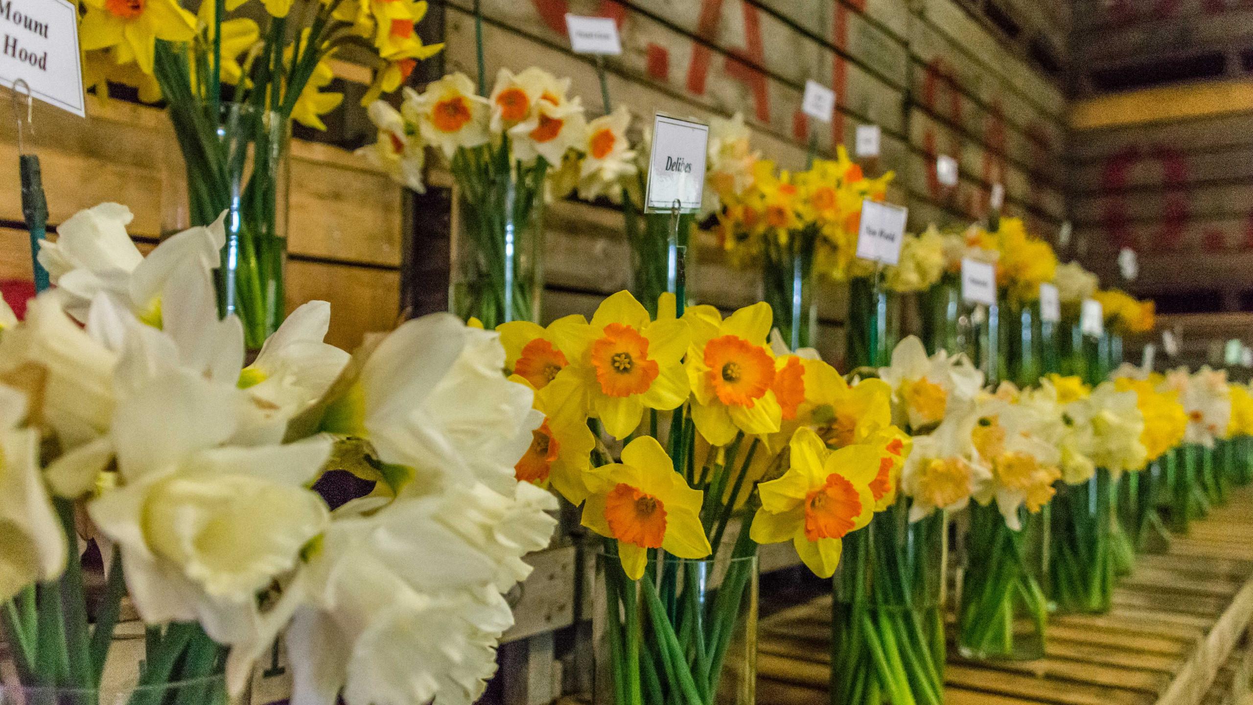 Daffodils (6 of 8)