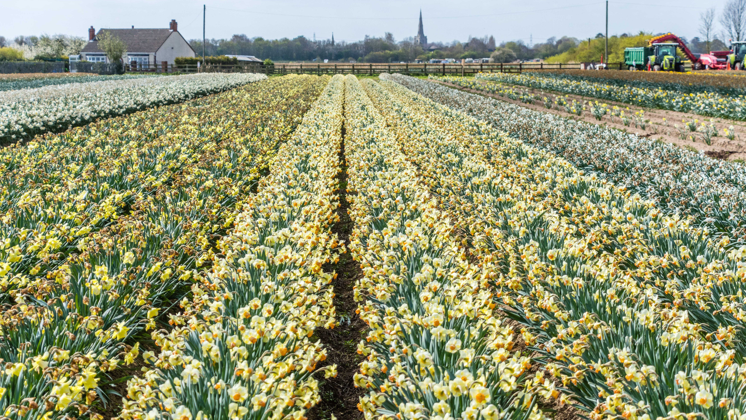 Daffodils (3 of 8)