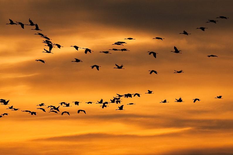 Sunset Cranes.jpg