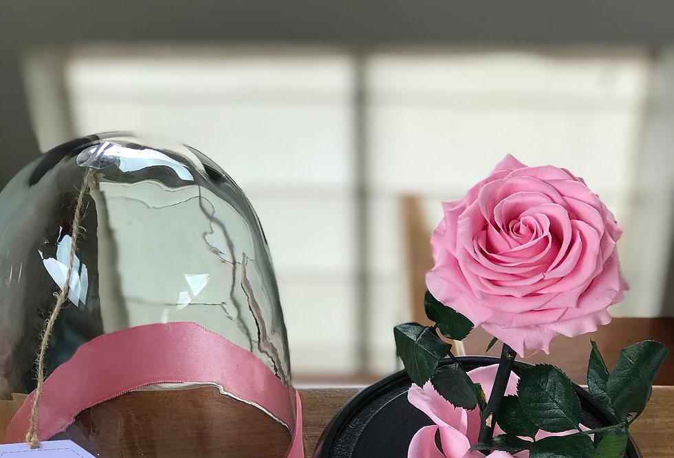 Rosa bella Premium en Cúpula 20x14