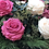 Thumbnail: Jarrón Génova Mate 18 Rosas Premium