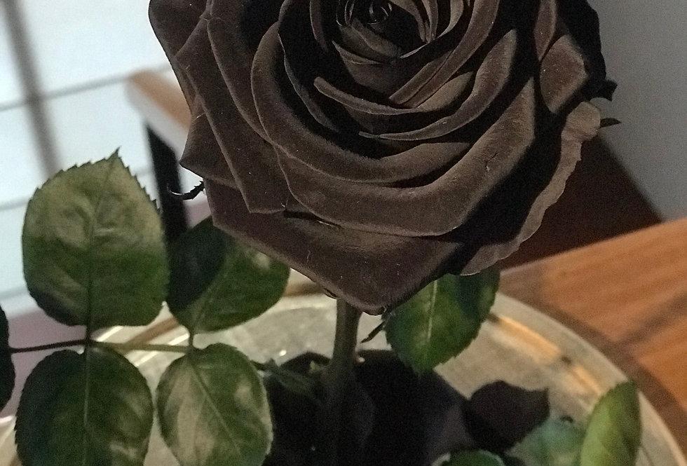 Rosa Bella Premium Negra