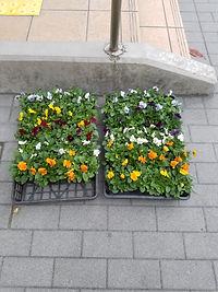 川崎区の花 ビオラ