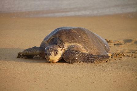 tortue olivatre, Mexique, ponte, tortue de mer, tortuga feliz