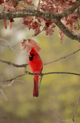 oiseau_rouge.jpg