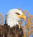 aigle à tête blanche, pygargue à têt blanche, bald head eagle