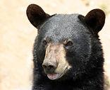 ours noir fiche info