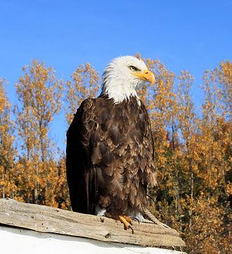pygargue à tête blanche, aigle à tête blanche, canada, rapace