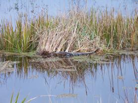 Quand tu croises un alligator!