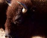 bison, fiche info