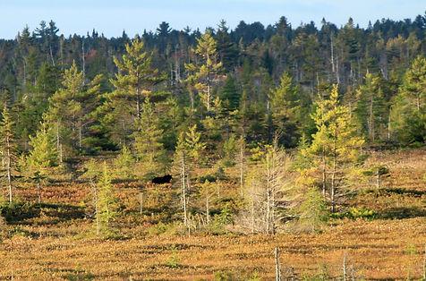 ours noir, Canada, Kouchibouguac