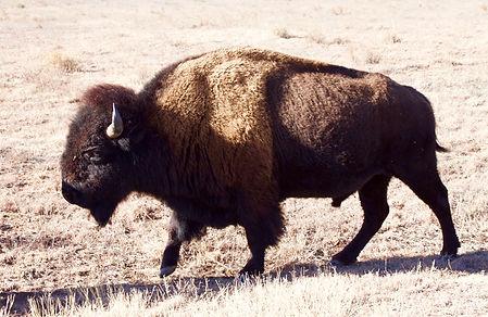 bison, Etat-Unis, Texas, animaux menacés, cap rock canyon state park