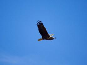 Et vous, vous avez déjà vu un aigle sauvage?