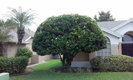 A small decorative tree that has just been pruned by hayes tree service