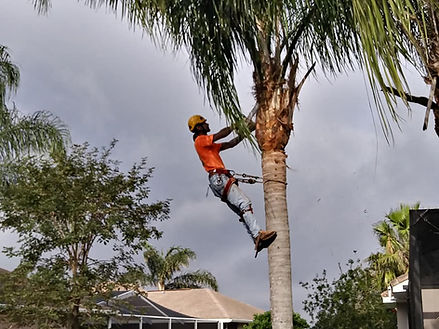 A worker for Hayes Tree Service has climbed a palm tree and is trimming it with a chainsaw