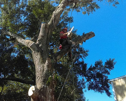 A worker is high in a tree doing tree cutting