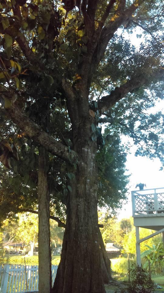 Hayes_Tree_Service_Bayonet_Point.jpg