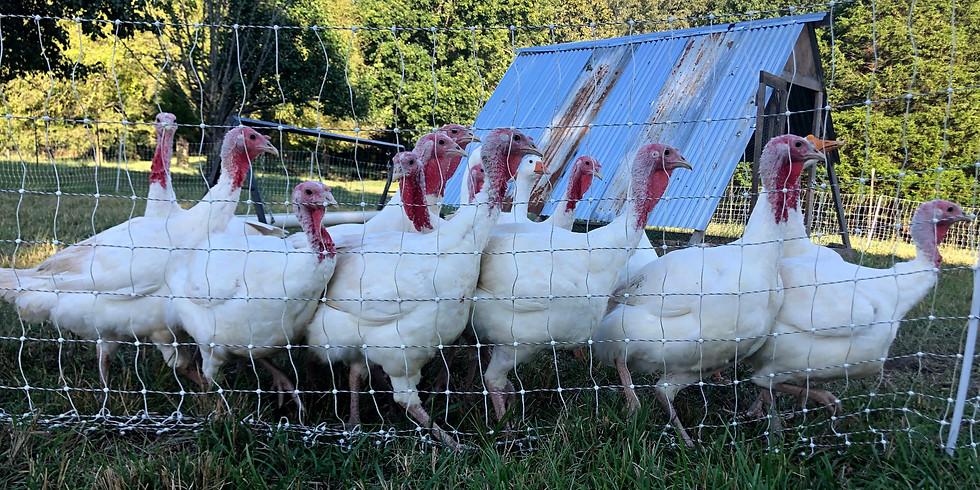 Thanksgiving Turkey Harvest